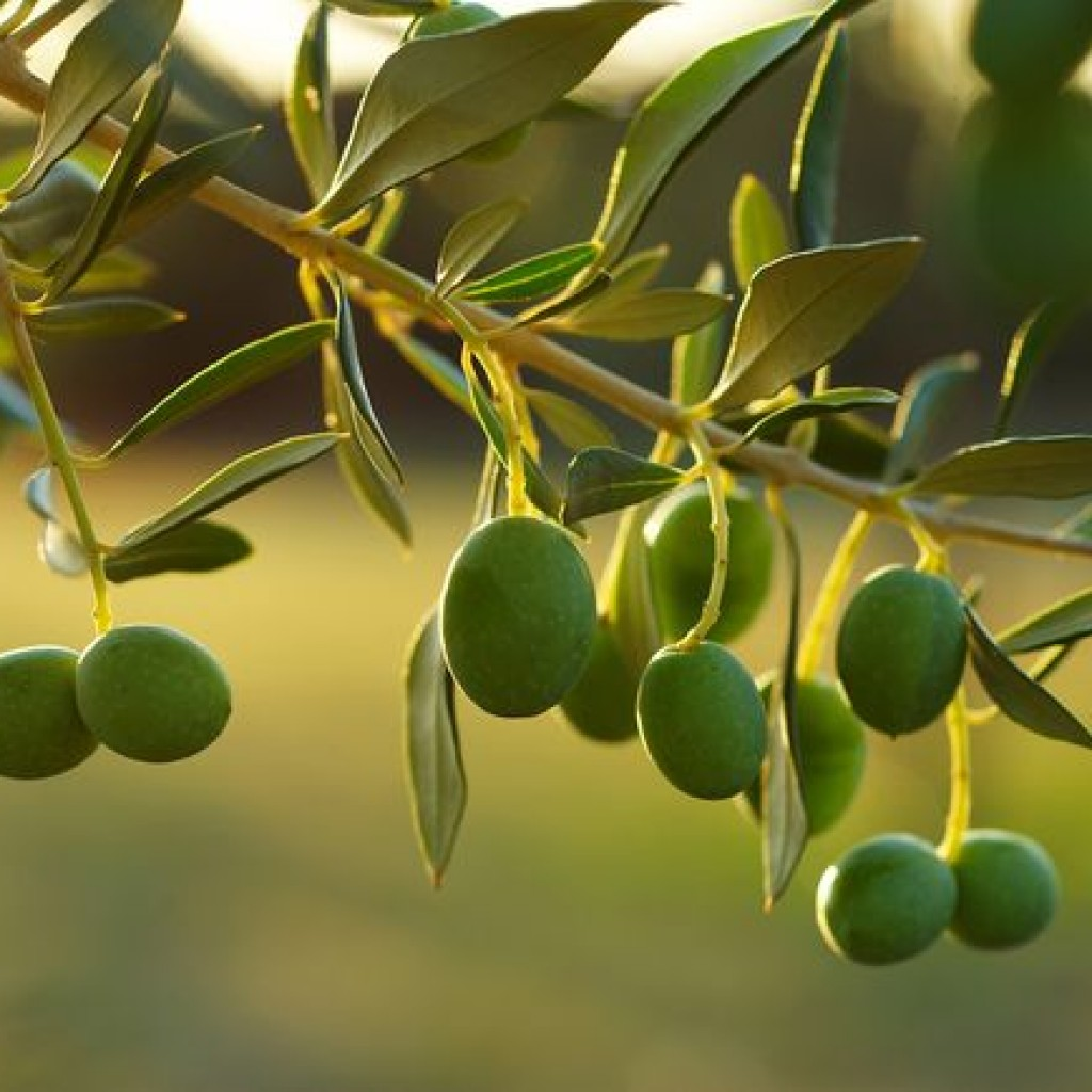 Olive-oil-is-touted-for-its-health-benefits-1024x1024